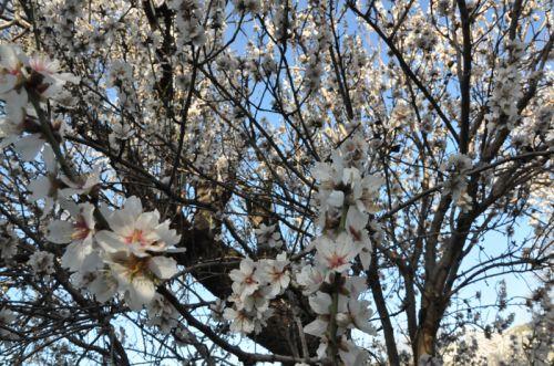 amandiers fleurs 2 blog.jpg