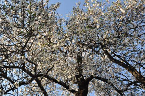 amandiers fleurs 3 blog jpg.jpg
