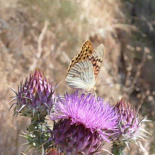 chardons papillons 4.jpg
