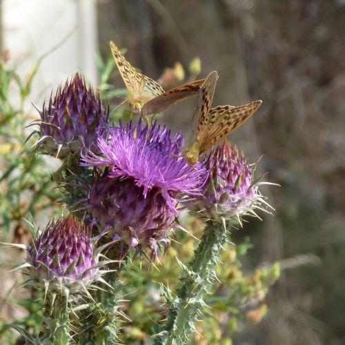 chardons papillons 5.jpg