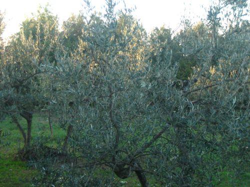 Volterra oliviers soir.2 jpg.jpg