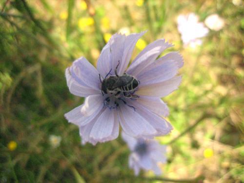 fleur de chicorée visitée.jpg