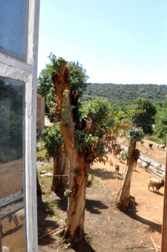 eucalyptus et chèvres.jpg