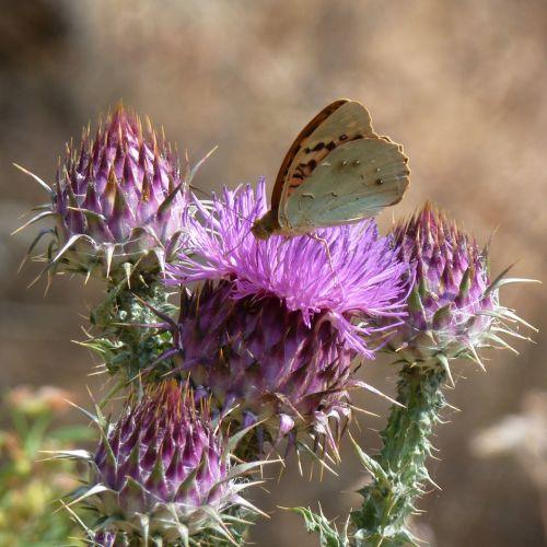 chardons papillons 3.jpg