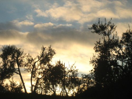 Volterra oliviers crépuscule.jpg