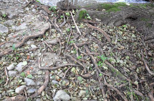 racines ruisseau copie.jpg