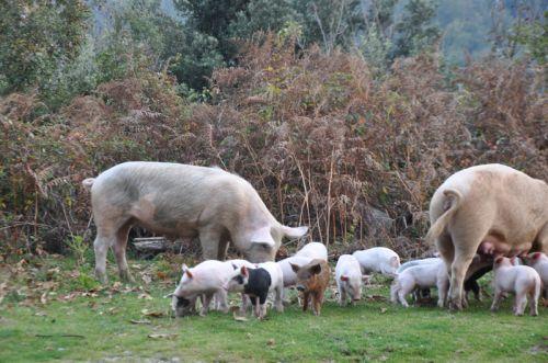 castagniccia cochons 4.jpg