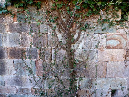 mur sud et  lierre.jpg