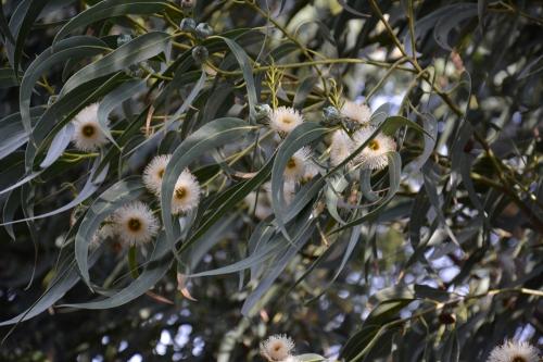 fleurs eucalyptus.jpg