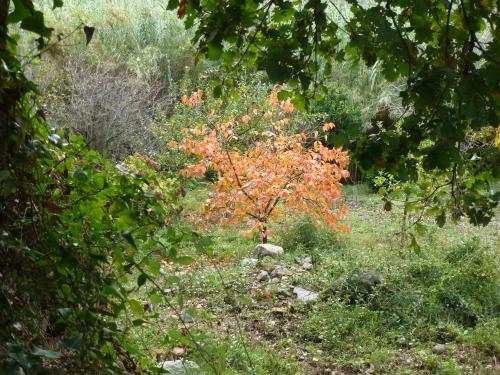l'arbre à kakis nov 2014.jpg