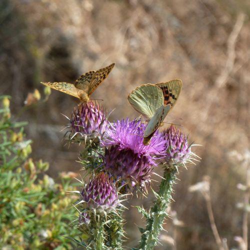 chardons papillons 2.jpg