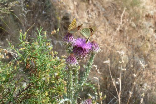 Chardons papillons.jpg