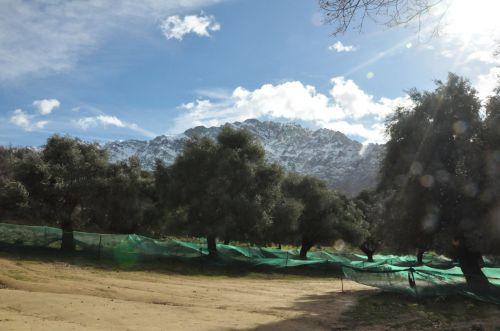 les oliviers de Cassano à sant'Albano blog.jpg