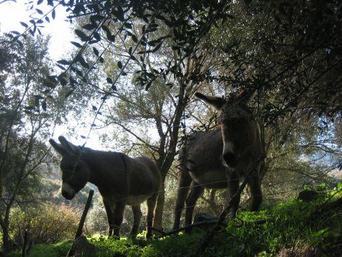 les ânes d' Aregno blog.jpg